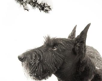 The Incorrigible ScottishTerrier