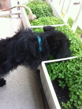 Ozzy Gardening 5-4-12